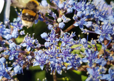 Bee On Blue Flowers