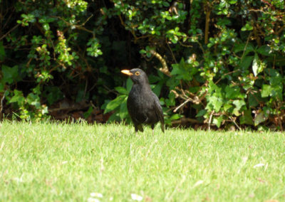 Black bird on the grass at Mount Edgcumbe photo for the Richard W Luscombe Photography Portfolio