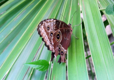 Brown Mexican Butterfly