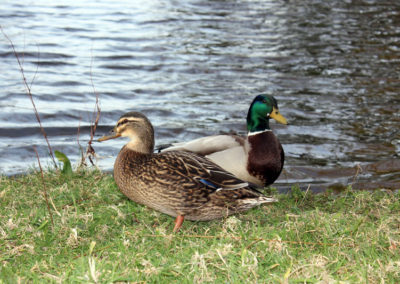 A male and female duck by a pond at Mount Edgcumbe photo for the Richard W Luscombe Photography Portfolio