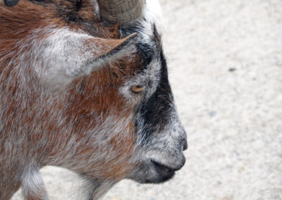 The side profile of a goats face at Paignton Zoo photo for the Richard W Luscombe Photography Portfolio