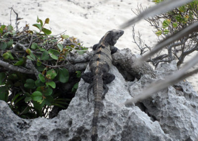 A lizard perched on a rock overlooking Tulum Beach Mexico photo for the Richard W Luscombe Photography Portfolio