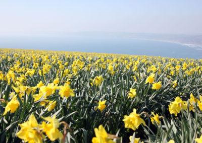 Rame-Daffodils