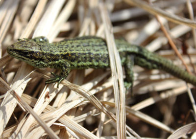 Siblyback Lizard