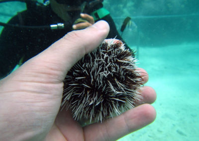 Underwater Mexican Sea Urchin